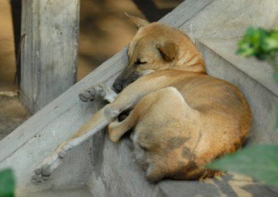 Chien endormi sur les marches d'un escalier, à l'entrée d'une maison, village de Sra Srang, province de Siem Reap.