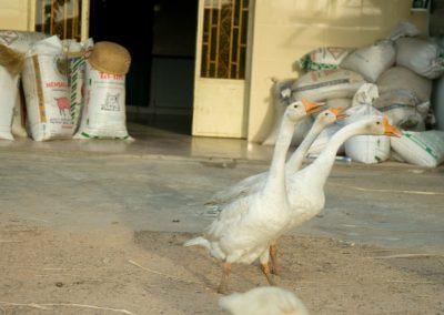 Oies et sacs de riz, Kep, province de Kampot.