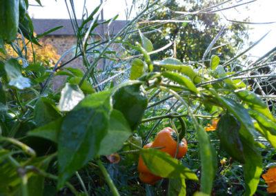 Eté après la pluie, récolte sur potagers au carré